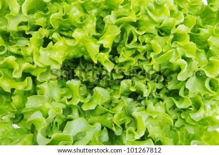 fresh green lettuce leaves - stock photo