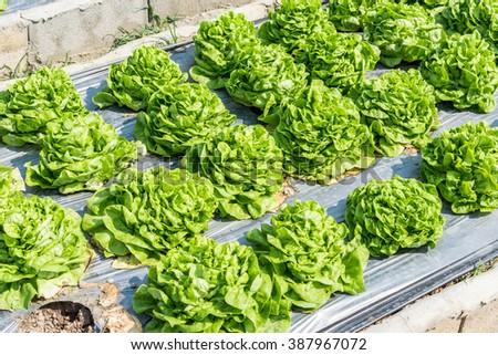 Fresh green lettuce on the field (Butter head) - stock photo