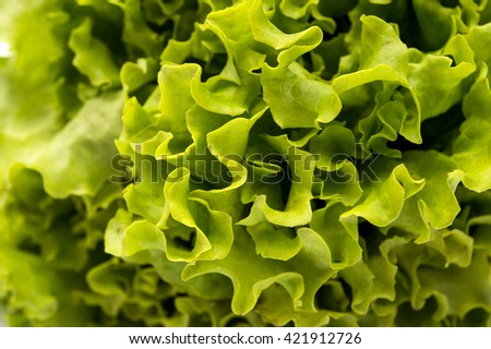 Fresh green Lettuce salad background - stock photo