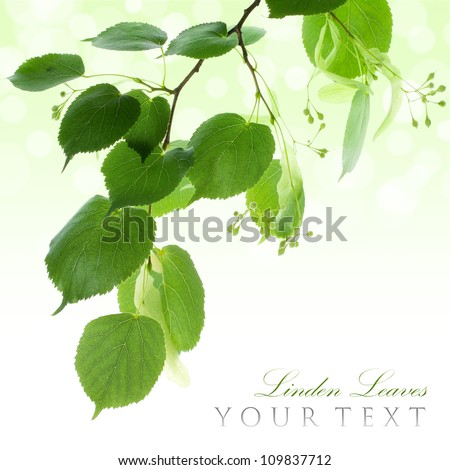 Fresh green linden leaves border isolated on white with copy space - stock photo