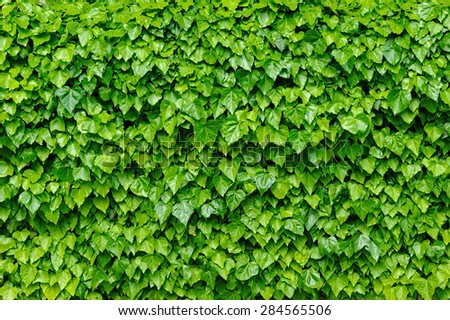 Fresh green lush ivy leaves covering the wall, good as background - stock photo