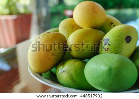 Fresh Green Mango right off the Mango Tree. Fruit. Fresh. Green. - stock photo