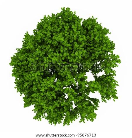 Fresh green maple tree isolated over white - stock photo