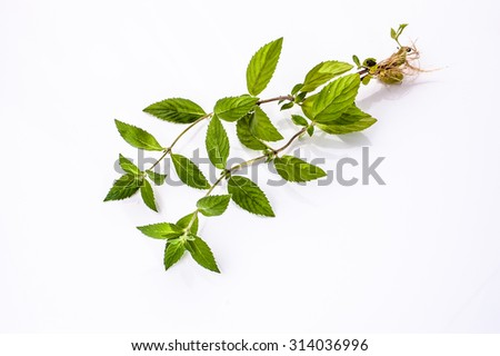 Fresh green mint herb with roots isolated on white background. - stock photo