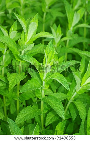 Fresh green mint leaves close up background - stock photo
