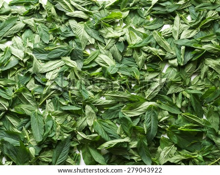 Fresh green mint leaves lying for drying - stock photo