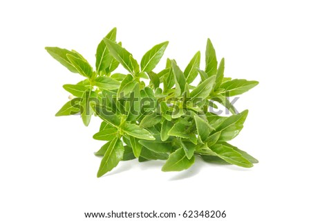 Fresh Green Piccolo Basil  Isolated on White Background - stock photo