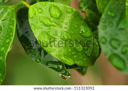 fresh green plant leaves with water drops, close up - stock photo