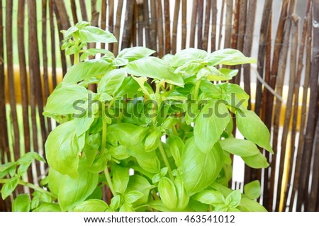 Fresh green planted basil plant
