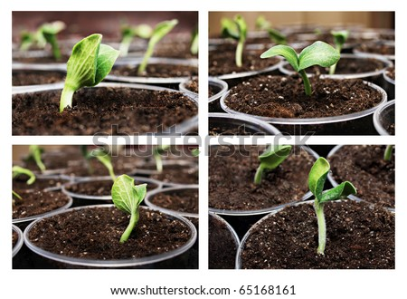 Fresh green pumpkin sprouts in the pots - stock photo