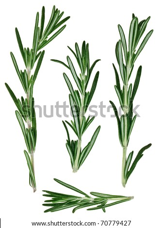 Fresh green rosemary twigs, isolated on white macro - stock photo