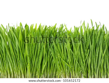 fresh green spring grass with water drops on white background - stock photo