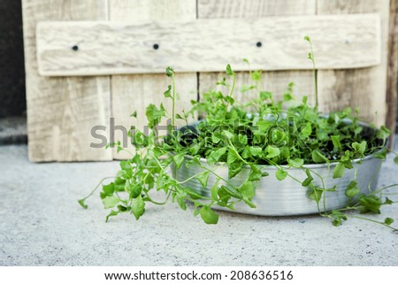 fresh green sprouts with leaves growing in the garden at the pot with rustic wooden background - stock photo