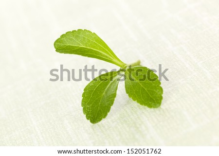 Fresh green stevia sugar leaf isolated on green background. Culinary aromatic herbs. - stock photo