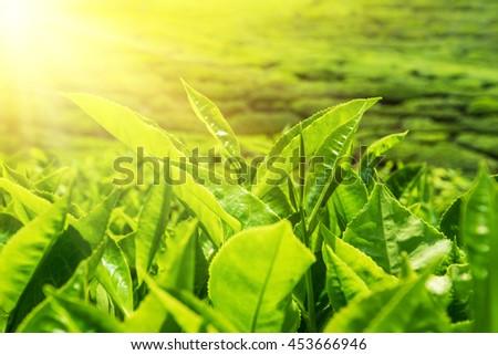 Fresh green tea leaves at plantation under sunset sky. Nature landscape of Cameron highlands, Malaysia - stock photo