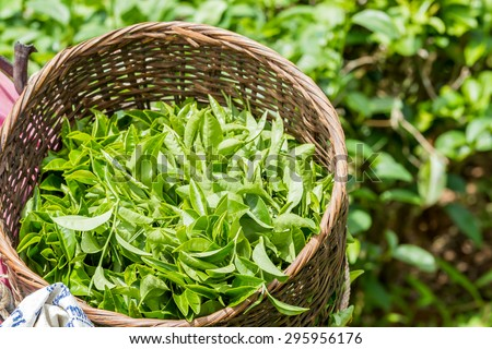 Fresh green tea leaves in bamboo basket at tea plantation in northern of Thailand - stock photo