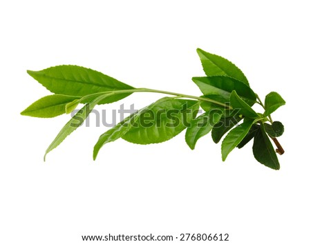 Fresh Green tea leaves on white/with clipping path - stock photo