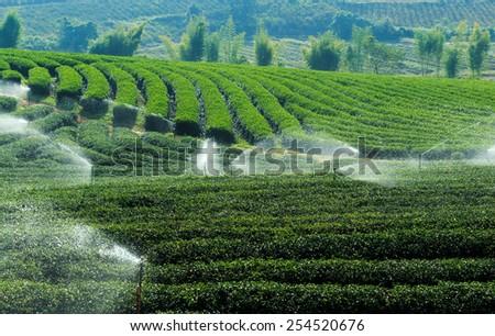 Fresh green tea plantation in Chiang Rai, Thailand - stock photo