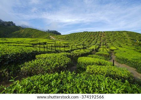 Fresh green tea plantation view near the mountain with beautiful blue sky at Cameron Highlands, Malaysia. Nature composition  - stock photo
