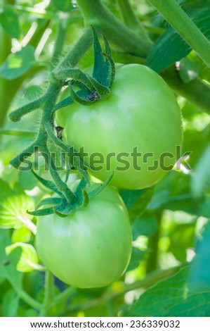fresh green tomatoes on tree in the vegetable garden - stock photo