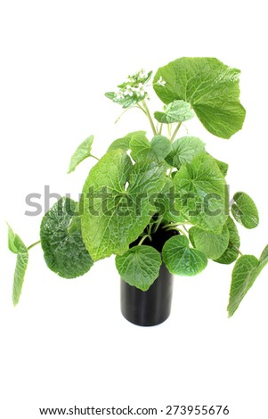 fresh green wasabi leaves with blossoms on a bright background