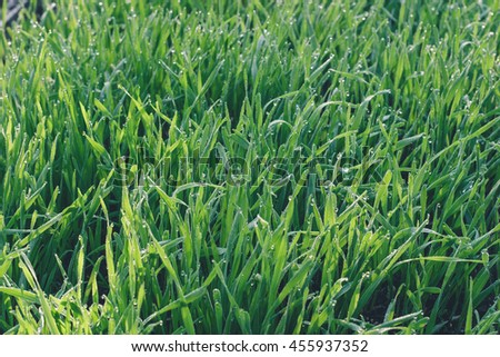 Fresh green wheat grass - stock photo
