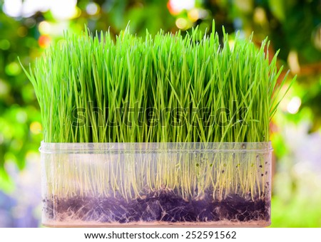 fresh green wheat seedlings in plastic box on blurred background (for vegetable juice) - stock photo