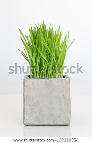 Fresh green wheatgrass growing in concrete pot. - stock photo