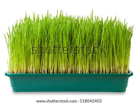 Fresh green wheatgrass  isolated on white - stock photo