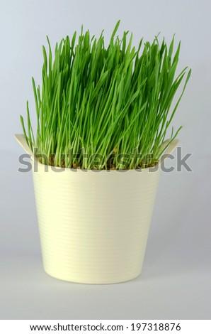 fresh green wheatgrass on white background. - stock photo