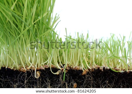 Fresh Green Wheatgrass With Cut Section for Copy