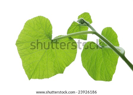 Fresh green young pumpkin leaves isolated on white - stock photo