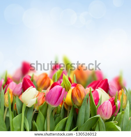 fresh growing tulips in garden on blue sky background - stock photo