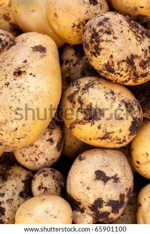 Fresh harvest of delicious Yukon Gold potatoes. - stock photo