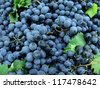 fresh harvested grapes as food background - stock photo