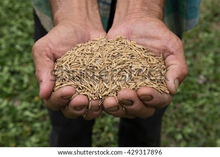 fresh harvested organic rice on natural work hard farmer hands with green agriculture farm background