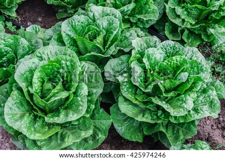 Fresh heads of lettuce are ready to be harvested, in the Salinas Valley of central California.