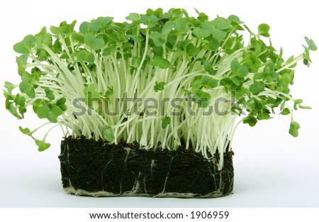 fresh healthy green cress seeds, close up - stock photo