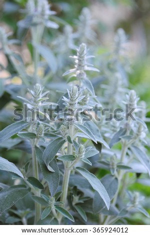 Fresh herb of sage in the garden - stock photo