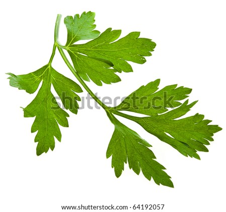 fresh herb parsley isolated on white - stock photo
