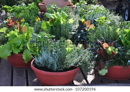 Fresh herbs grown in compact containers suitable for backyard or patio gardening - stock photo