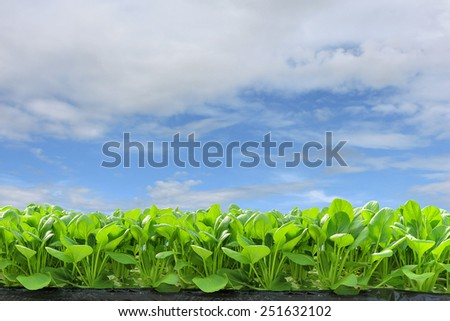 Fresh hydroponic vegetables in the blue sky. - stock photo