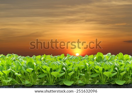 Fresh hydroponic vegetables in the sunset. - stock photo