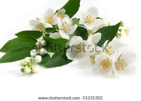 Fresh jasmine - stock photo