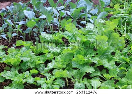 Fresh kale in garden - stock photo