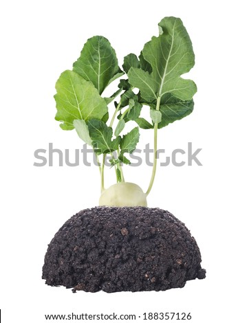 fresh kohlrabi, turnip cabbage, with green leaves in garden ground, isolated - stock photo