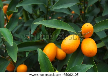 fresh kumquat orange on plant - stock photo