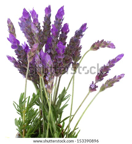Fresh lavender field  flowers isolated on white background - stock photo