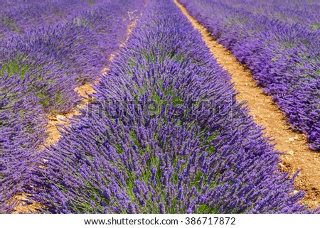 fresh Lavender field rows close up, France - stock photo