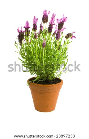 Fresh lavender in pot on white background